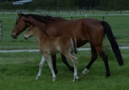Winter Rose and her Somebeachsomewhere colt at Macca Lodge
