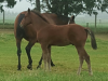 This big Mach Three colt born at Macca Lodge in November is a full brother to Machtu and a half-brother to Raconteur, the dam of Talkerup. The dam is Letatalk.